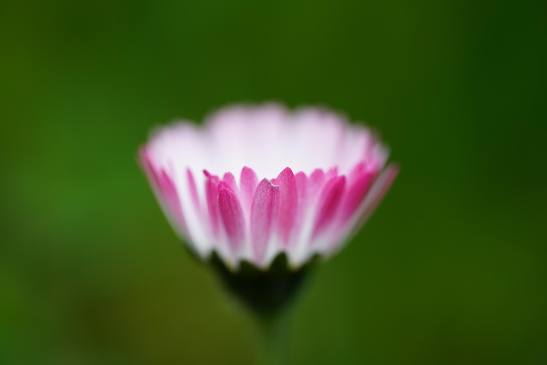 daisy-1316645_1920